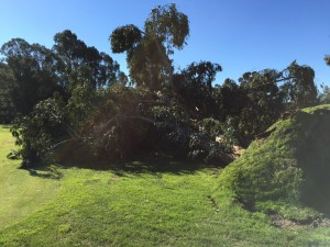 The wind created a lot of new hazards in the form of downed trees at popular Bay Area golf course Chuck Corica in Alameda. Wednesday, December 31st, 2014